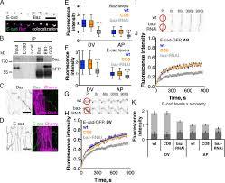 dynamic microtubules produce an asymmetric e cadherin u2013bazooka