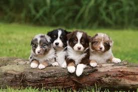 risk n hope australian shepherds dog breed specific behaviour mammal britannica com