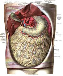 Dog Anatomy Organs Greater Omentum Wikipedia