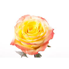 multicolor roses multi colored roses flower muse