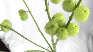 asclepias pods green also called balls or swan plant