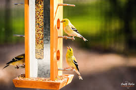 What Color Does Yellow Represent by What Does Bill Color Mean To A Goldfinch Feederwatch