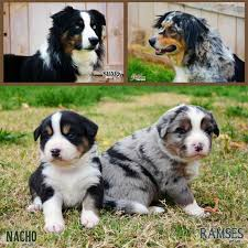 australian shepherd kennel club australian shepherd breeders arizona