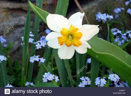 Image Of Spring Flowers by Spring Flowers Of Daffodils And Forget Me Nots Blooming In Garden
