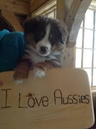 australian shepherd yahoo answers muskoka mini aussies home
