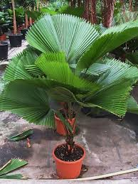 best 25 fan palm ideas on palms leaves and plant leaves