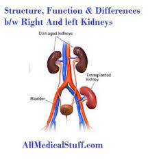 Kidney Anatomy And Physiology Video Structure And Functions Of Kidneys