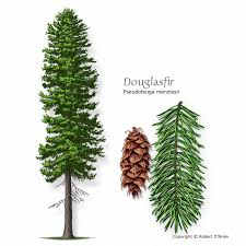douglas fir tree a m forest service trees of list of trees