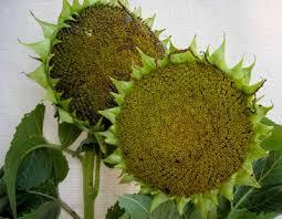 peredovik black oil sunflower seed giantveggiegardener
