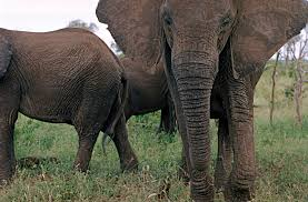 u s says yes to importing 18 elephants from swaziland