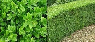 Laurel Topiary - buy box hedging buxus sempervirens hedges direct uk