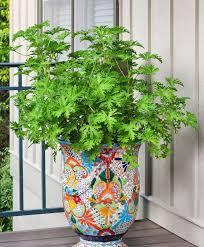 mosquito plant bonnie plants