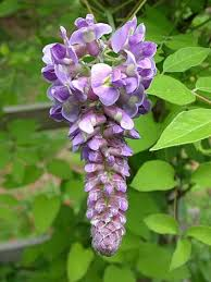 wisteria meaning wisteria flower