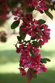 Profusion Flowering Crabapple - profusion flowering crab malus u0027profusion u0027 at stein u0027s garden