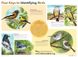 four keys to bird identification all about birds