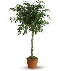 best 25 indoor tree plants ideas on indoor green
