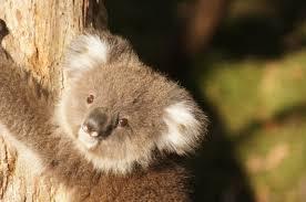 free images sweet wildlife mammal rest fauna australia