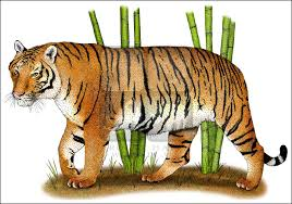 tigers full color u0026 line art illustrations at inkart net