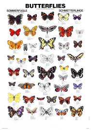 types of butterflies with pictures and names butterflies pictures