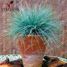 blue fescue grass ornamental grass seeds perennial flower