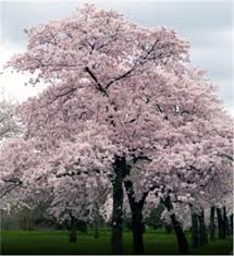 buy affordable yoshino cherry trees at our nursery