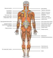 Anatomy Of Human Back Muscles Muscles And Organs Of Human Body Back Muscle Diagram Human Body