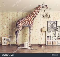 in the livingroom giraffe breaks ceiling living room photo stock photo 475973947