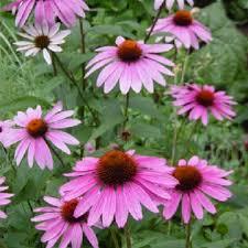 echinacea flower echinacea magnus plants for sale echinacea purpurea the