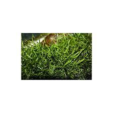 Java Moss Aquascape Taxiphyllum Barbieri Java Moss Plant It In Vitro Pro Shrimp Uk