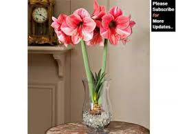 Amaryllis Flowers White Amaryllis Flowers Beautiful Pictures Romance Youtube