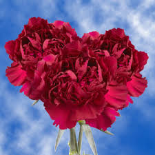 purple carnations purple carnations global