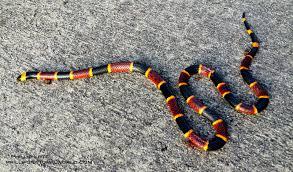 Blind Snake Hawaii Coral Snake And Dinosaurs Phillip U0027s Natural World
