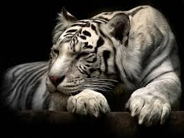 do it yourself hd wall murals 3d white tiger images in the wild