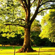 central park tree photograph by anderle