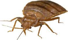 Can Bed Bugs Kill You A Birds Eye View Of A Common Bedbug Almost Alien Like Structure