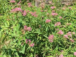 native plants for clay soil planting milkweed u2013 keystone flora