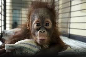 Baby Monkey Meme - th id oip azsbumxd8lw x1aqzkojcqhae6