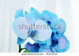 Blue Orchid Flower Blue Orchid Flower Stock Photos Royalty Free Images U0026 Vectors