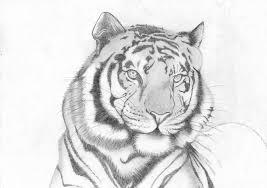 tiger sketch by dragonprincezz on deviantart