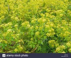 native plant gardening smyrnium olusatrum a non native plant growing on waste land near