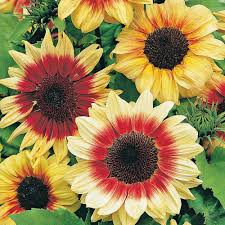 sunflower u0027magic roundabout u0027 f1 hybrid seeds van meuwen