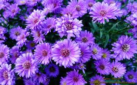 purple flower wallpaper qige87 com