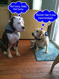 american pitbull terrier jaw jawbreaker i pitty the bull