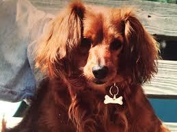 afghan hound attack dachshund wikipedia