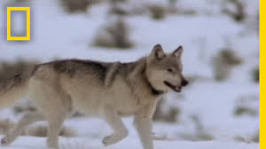 wolf hunting tactics national geographic youtube