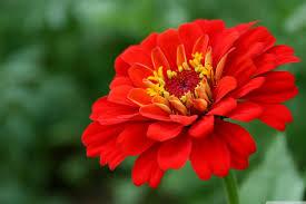 Zinnia Flower Red Zinnia Flower 4k Hd Desktop Wallpaper For 4k Ultra Hd Tv