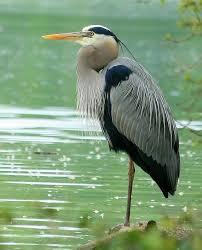 best 25 grey heron ideas on pinterest heron herons and pretty