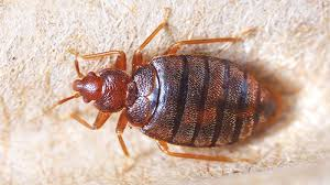 Home Remedies For Getting Rid Of Bed Bugs Home Remedies To Get Rid Of Bed Bugs Theindependentbd Com