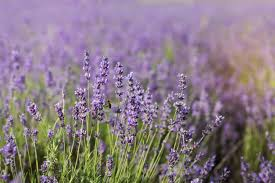 Most Fragrant Lavender Plant How Hardy Are Lavender Plants Best Lavender Plants For Zone 5 Gardens
