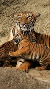 best 25 tiger moms ideas on pinterest sweet love images hugs